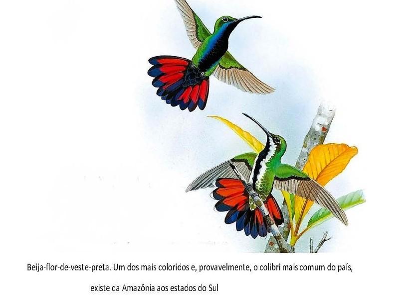 A dura vida do beija-flor.3