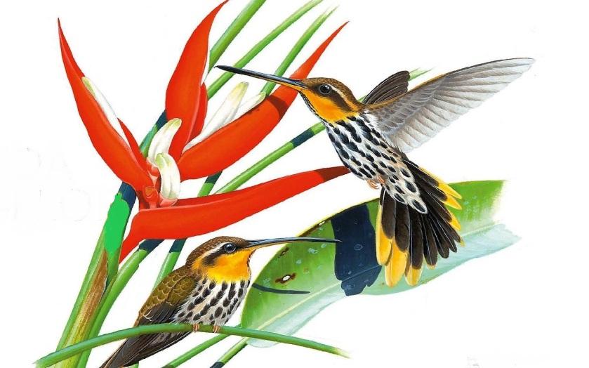 A dura vida do beija-flor