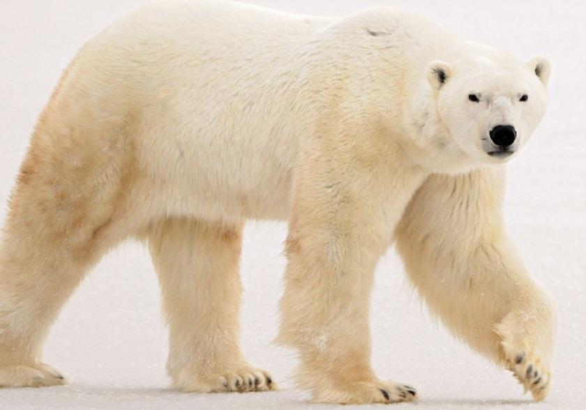 Não brigue com o urso-branco!