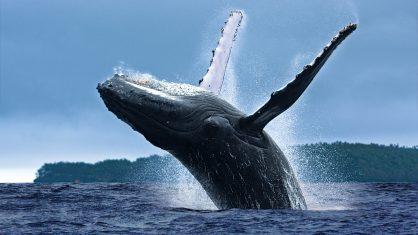 A festa das baleias